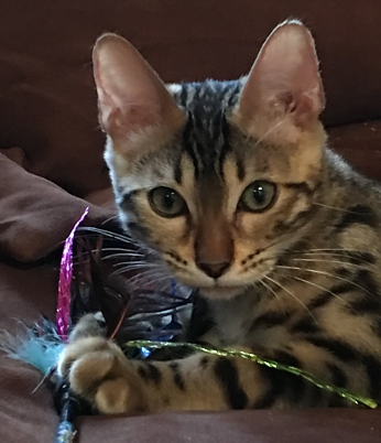 Bengal kitten for sale California