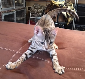 Bengal cats and kittens for sale Sacramento, CA
