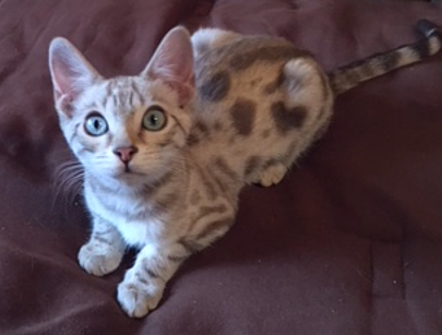 Snow spotted female Bengal kitten for sale CA