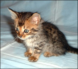 Long Haired Bengal Kitten Named Gator.