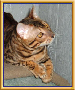 Bengal cats and kittens for sale in Sacramento, CA