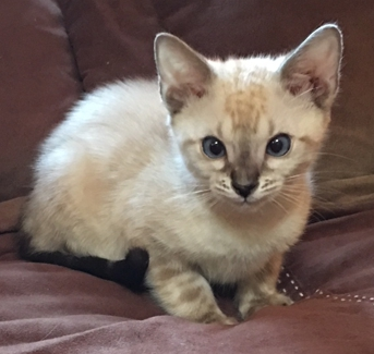 Seal Lynx-Point Marble Male Bengal kitten for sale Sacramento, CA