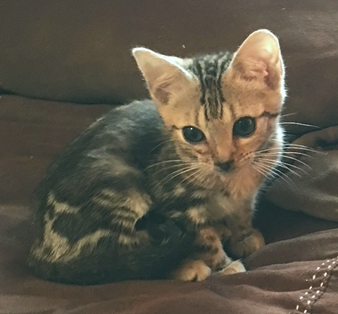 Tri-color Marble Bengal kitten for sale Sacramento CA